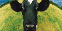 Κι όμως ο ήχος διάσημης μπάντας βοηθάει τις αγελάδες στην αύξηση παραγωγής γάλακτος [εικόνα]