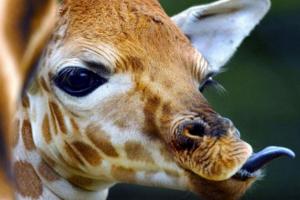 Το τρυφερό αντίο της καμηλοπάρδαλης στον ετοιμοθάνατο φύλακα του ζωολογικού κήπου [εικόνες]