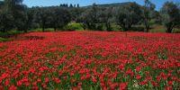 Λαλάδες: Οι τουλίπες που φυτρώνουν μόνο στη Χίο και πουθενά αλλού στον κόσμο σε ένα υπέροχο βίντεο!